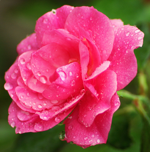 Rose Bloom, After a Shower